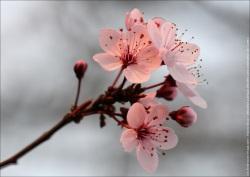 fleurs cerisiers du japon img 0178